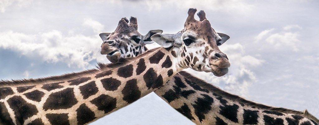 L'attribut alt de cette image est vide, son nom de fichier est girafes-1024x404.jpg.